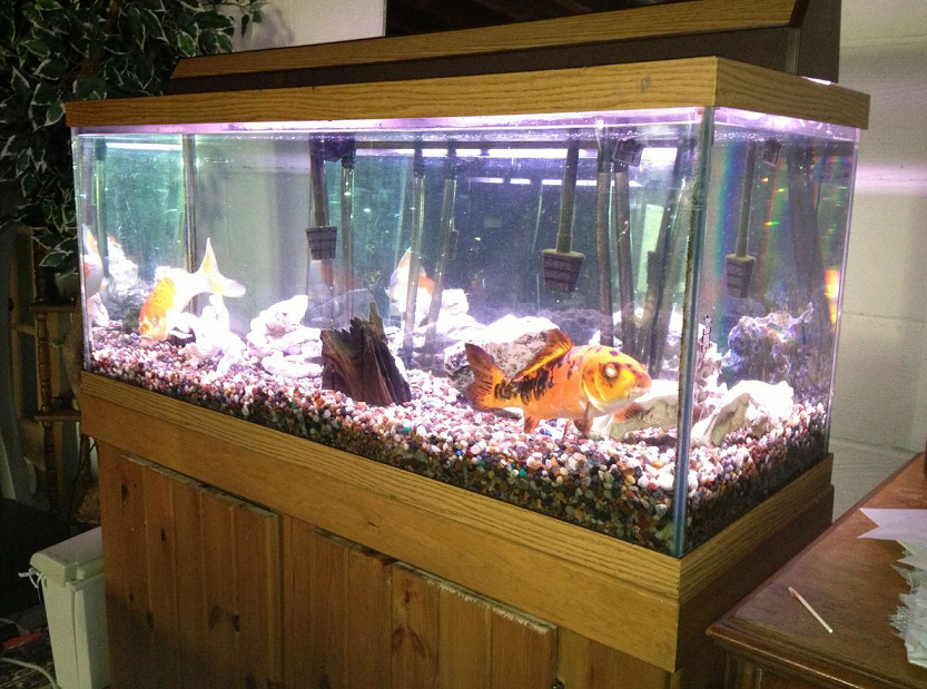 Aquarium ikan koi di dalam ruangan