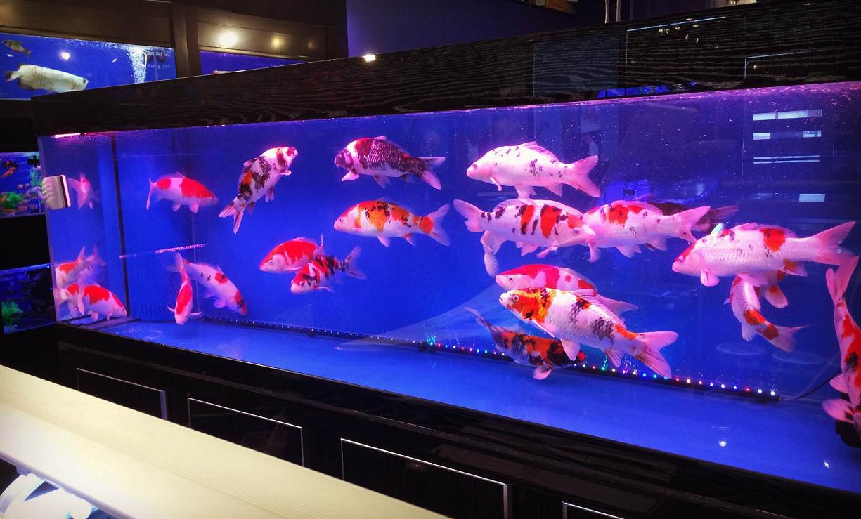 Contoh aquarium ikan koi berukuran besar dengan kayu berwarna hitam - markhamaquarium2u.com