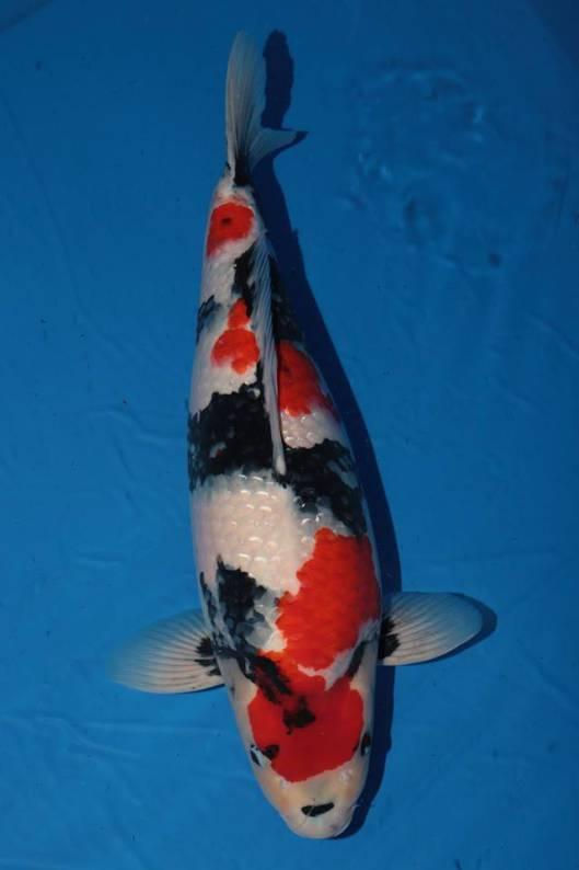 Gambar ikan koi termahal di dunia yang pernah ada ...