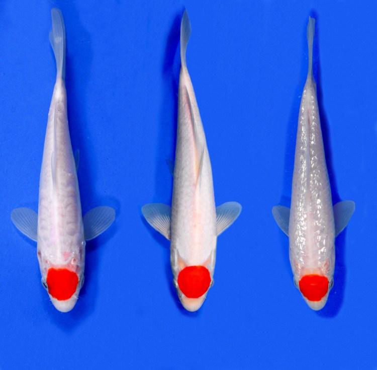 Gambar Ikan koi Tancho Kohaku