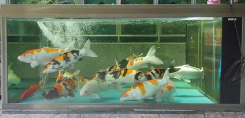 Gambar contoh aquarium berukuran kecil untuk ikan koi yang masih muda