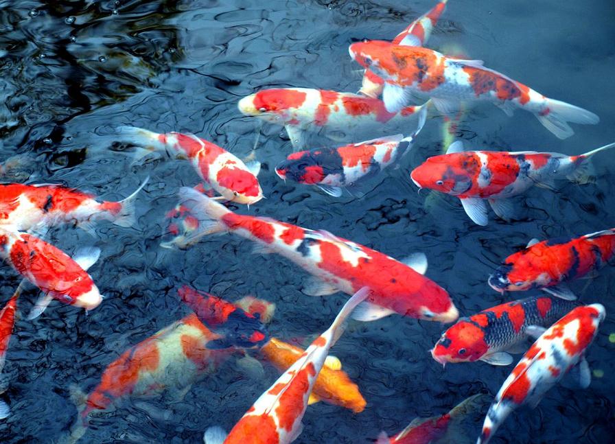 Gambar ikan koi (www.travel-photographs.net