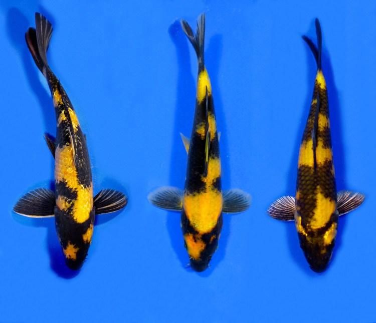 Ikan Koi Ki Utsuri