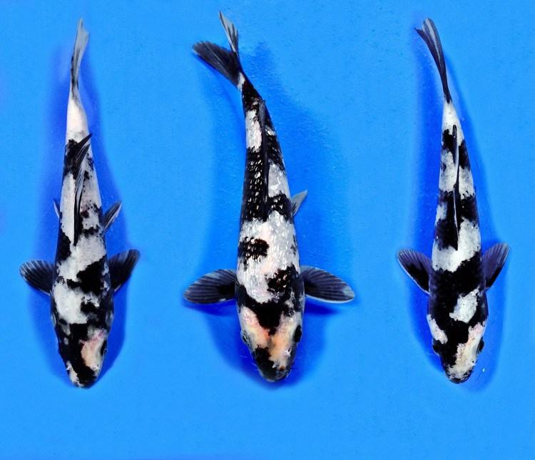 Ikan Koi Shiro Utsuri