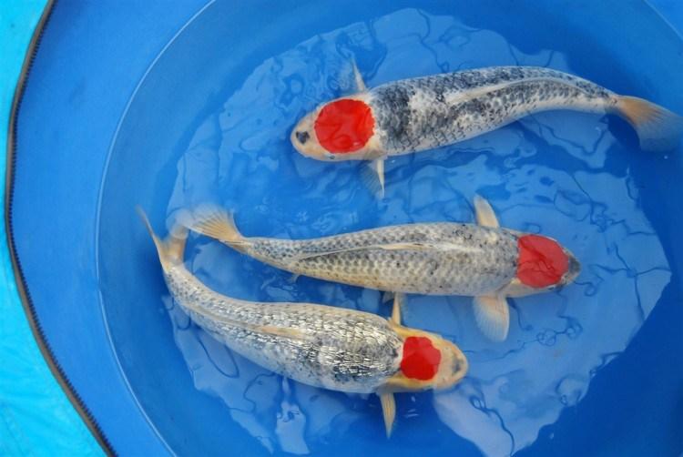 Ikan koi Tancho Goshiki - genkikoi.com