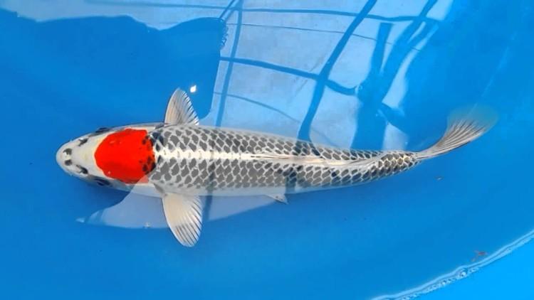 Ikan koi Tancho Kujaku