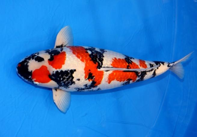 Ikan koi ginrin showa termahal