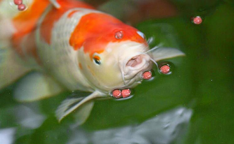 makanan-ikan-koi