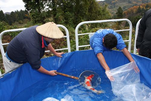 Penangkapan ikan termahal maruten kohaku seharga 11 juta yen