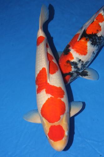 Ikan Koi Maruten Kohaku termahal
