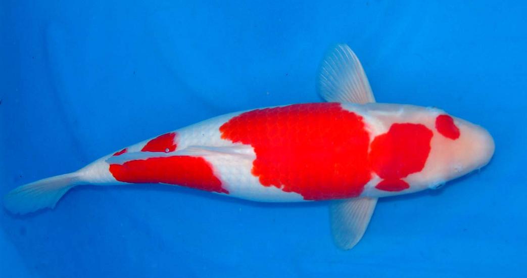 Ikan koi Kohaku, image: www.koi-bito.com