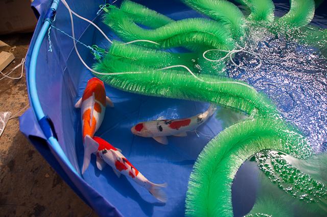 Contoh kolam pemijahan ikan koi